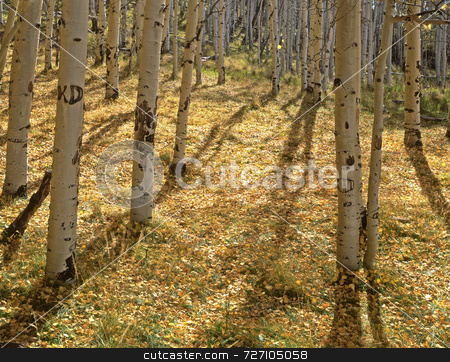 Yellow Forest Floor stock photo, Yellow aspen leaves on the ground, photographed during the autumn season. by Mike Norton