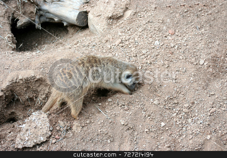 Meerkat Digging stock photo, A single meerkat digging a new hole for is clan by Kevin Tietz