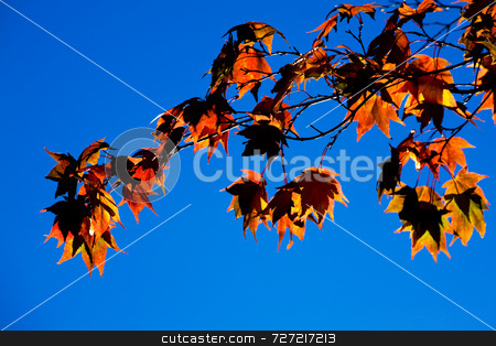 Japanese Maple  stock photo, Japanese Maple 'Amoenum' (Acer palmatum) by Jon Stokes