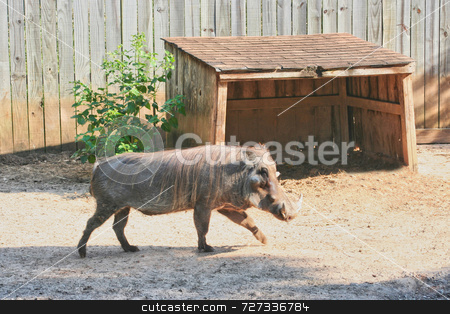 Single Warthog stock photo, A single warthog walking to get some food by Kevin Tietz