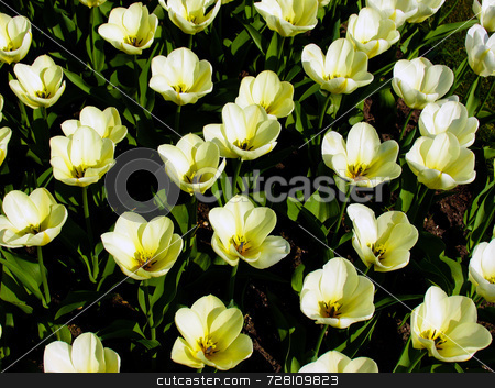 Tulip Garden stock photo, Yellow tulips in a formal garden, in springtime by Paul Phillips