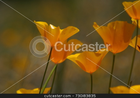 Yellow California Poppies stock photo, Yellow california poppies with a shallow depth of field. by Lynn Bendickson