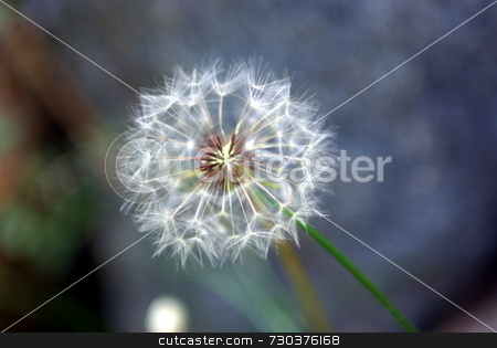Dandelion Closeup stock photo, A single Dandelion standing by its self in a shallow depth of field by Lynn Bendickson