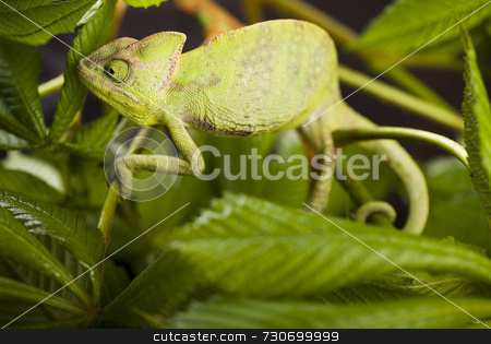 Chameleon on the leaf stock photo,  by Sebastian Duda