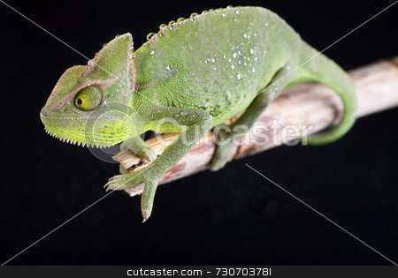 Chameleon stock photo,  by Sebastian Duda