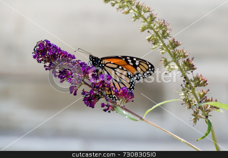 Monarch Butterfly in the City stock photo, Monarch butterfly rests and feeds on a butterfly bush in the city. Selective focus, the photo was shot in front of a white marble city monument with a high reflective value resulting in the almost white background. by ngirl