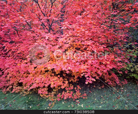 Canyon Maple Tree stock photo, A canyon maple tree in Logan Canyon, Utah, photographed during the autumn season. by Mike Norton