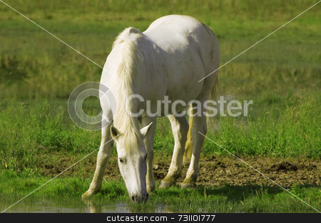 White horse stock photo, White wild horse drinks water in a pond by Massimiliano Leban