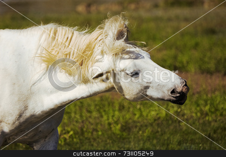 White horse stock photo, White horse shakes the mane by Massimiliano Leban