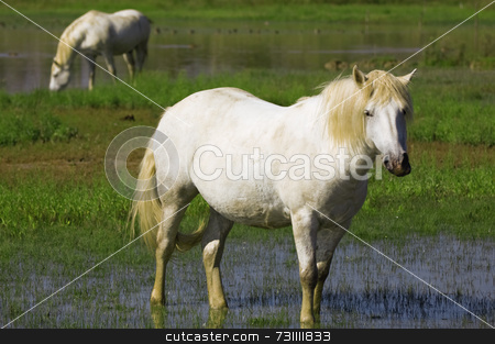 White horses stock photo, Two Camargue white horses eating grass in a pond by Massimiliano Leban