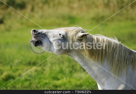 Funny horse stock photo, White wild horse shows theet by Massimiliano Leban