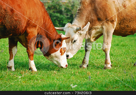 Two cows stock photo, Two cows eat grass in a meadow by Massimiliano Leban