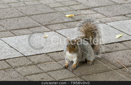 Squirrel Posing on Pavement stock photo, Grey, brown, and white squirrel poses on sidewalk. Angled front to side view. Furry, good foot and claw detail, and catchlight in eyes. Nice upright bushy tail. by ngirl