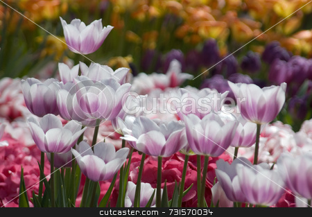 Fancy Tulip Garden stock photo, A multitude of tulips and colorful spring flowers in a formal garden bed. Main focus is on translucent white and lavender tulips that form the front of the flower border. Behind are flowers in dark pink, purple, and orange. One robust tulip stands taller above the rest. by ngirl