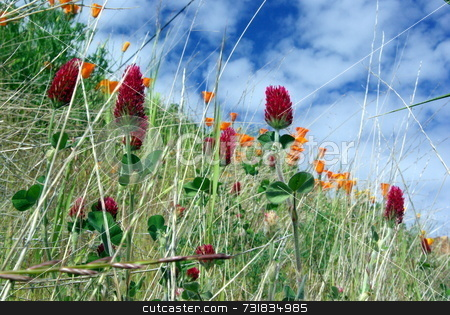 Red Clover And Orange Poppies stock photo, A ground level view of Red Clover, California Poppies and other grassland plants. by Lynn Bendickson
