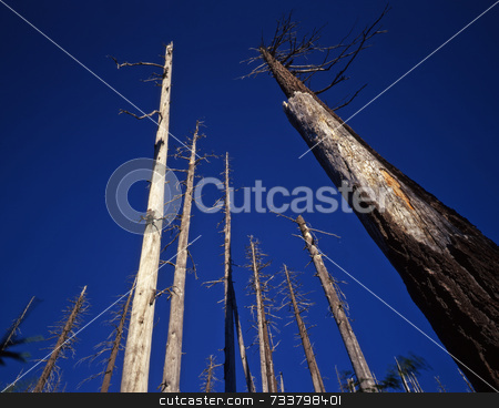 Dead Trees Mt St. Helens stock photo, Trees killed in the 1980 eruption of Mt. St. Hellens, still standing in 2001. by Mike Norton