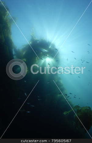 Sunrays through Kelp Forest stock photo, Sunrays through Giant Kelp by A Cotton Photo