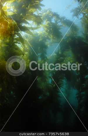 Giant Kelp Forest stock photo, Giant Kelp Forest by A Cotton Photo