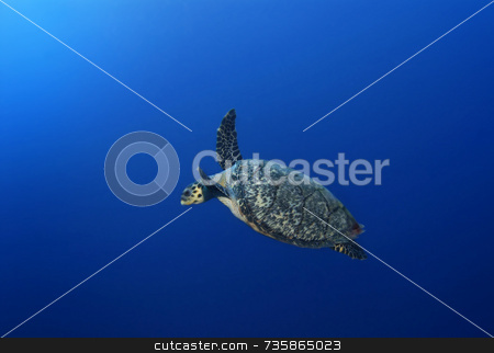 Solo Sea Turtle stock photo, Solo Sea turtle by Amanda Cotton