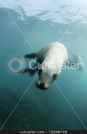 Playful California Sea Lion stock photo, Playful California Sea lion by A Cotton Photo