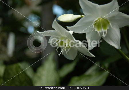 White orchid stock photo, A closeup view of two white orchids in a garden by Tim Markley