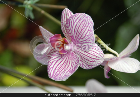 Striped orchids stock photo, A closeup view of stripes purple orchids in a garden by Tim Markley