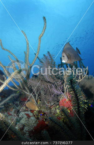 Gray Angel Fish with Coral stock photo, Gray Angel Fish with Coral by A Cotton Photo
