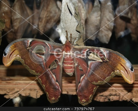 Atlas Moth with wings spread stock photo, Atlas moth at rest with wings spread by Wes Shepherd