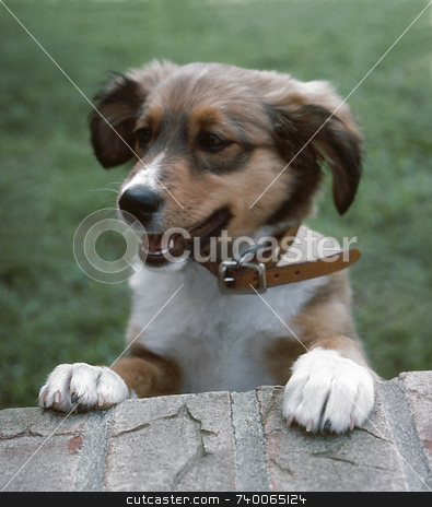 Mixed Breed Puppy stock photo, A mixed breed puppy peeks over a wall to see what's going on. by Kathy Piper
