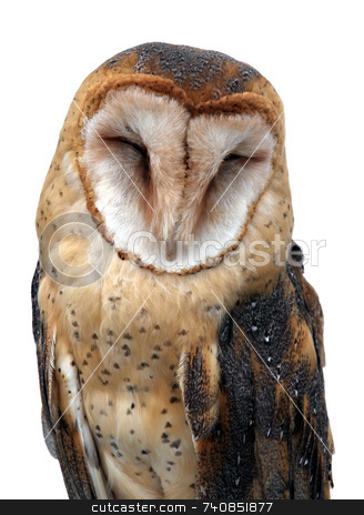 Asleep stock photo, Barn Owl asleep. Isolated on white by Paul Phillips