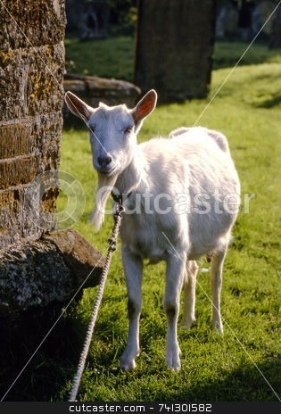 Old Goat stock photo, A goat tied up in a churchyard keeping the grass short. by Paul Phillips