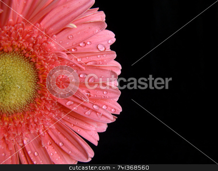 Pink Gerber stock photo, Macro shot of a vibrant pink gerber daisy against a black background by Martie Venter