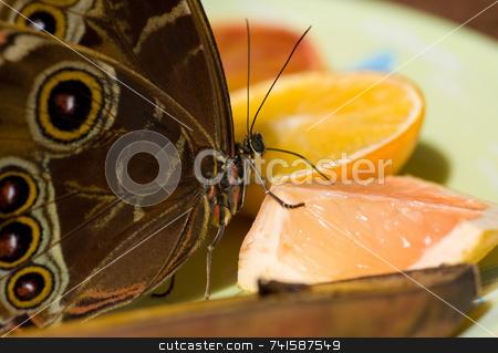 Blue morpho Butterfly stock photo, A macro shot of a utterfly feeding on citrus fruit by Jean Larue-Frechette