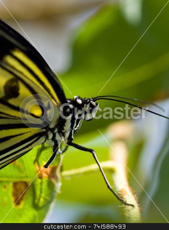 Butterfly macro 2 stock photo, An unknown butterfly soecies with a missing leg by Jean Larue-Frechette