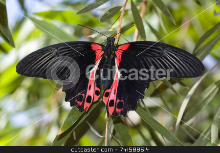 Rumanzovia swallowtail butterfly stock photo,  by Jean Larue-Frechette