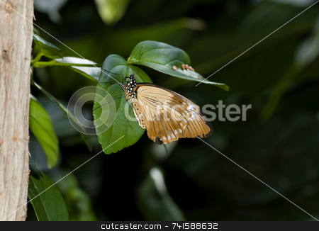 Flying handkerchief butterfly stock photo, A Flying handkerchief butterfly on a leaf by Jean Larue-Frechette