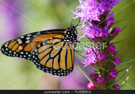 Monarch Butterfly stock photo, A Monarch Butterfly feeding on a pink flower by Jean Larue-Frechette