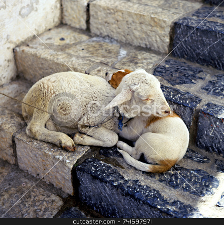 Lamb and Dog stock photo, A pet lamb and dog together on a step in Greece by Paul Phillips