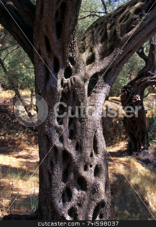 Olive Tree stock photo, The bark of an Olive tree on the greek island of Corfu by Paul Phillips