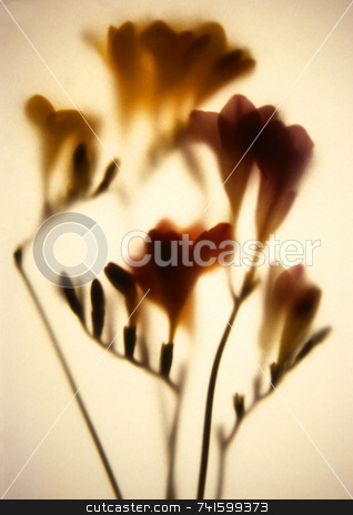 Fuchsias stock photo, Fuchsias photographed art paper by Paul Phillips