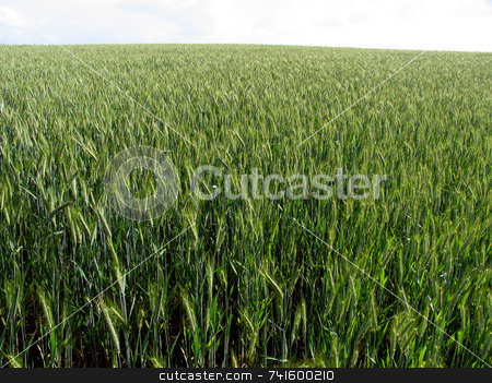 Cornfield stock photo, Barley crop growing in England midsummer by Paul Phillips