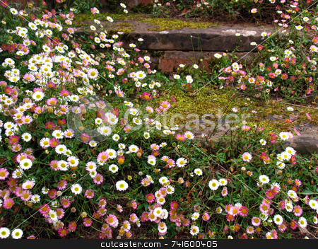 Steps stock photo, Daisies growing in an English garden by Paul Phillips