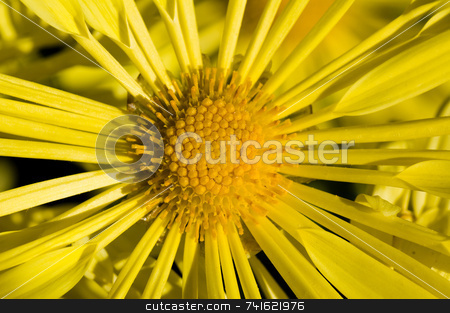 Yellow daisy macro stock photo, Close-up shot of a yellow flower in a garden by Jean Larue-Frechette