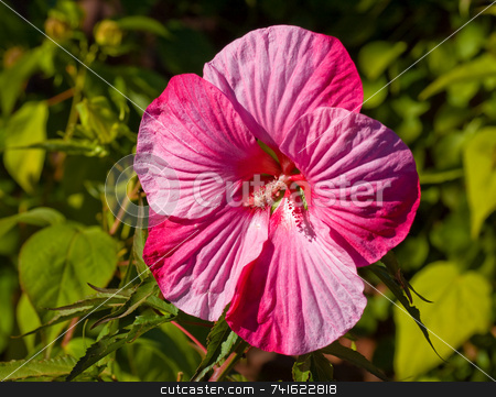 Huge pink flower stock photo, Close-up shot of a huge pink flower in a garden by Jean Larue-Frechette