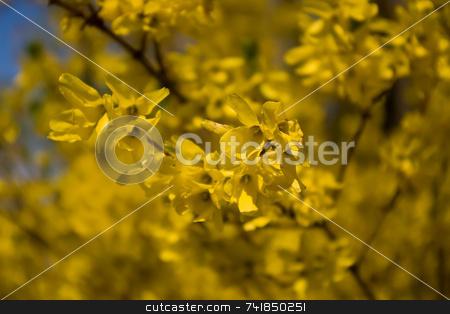 Forsythia stock photo, Yellow forsythia on a spring day by Ron Johnson