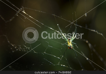 Orchard Spider (Leucauge venusta) stock photo, Orchard Spider (Leucauge venusta) by A Cotton Photo