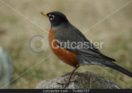 Harbinger of Spring stock photo, The Robin is considered by many to be the