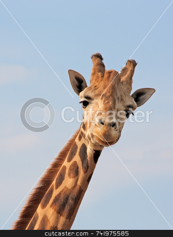 Giraffe Looking stock photo, A giraffe posing and looking straight at the camera by Georgios Alexandris