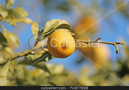 Lemon on the Tree stock photo, A fresh lemon on a tree by Georgios Alexandris