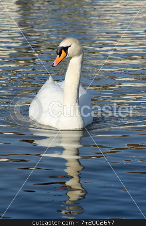 Elegant white swan with clear water reflection. stock photo, Elegant white swan with clear water reflection. by Stephen Rees